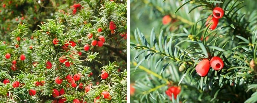 Taxus Baccata - Poppelaars